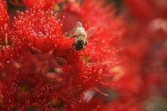 Bloodwood rosso con l'ape Immagini Stock