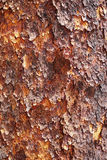 Bloodwood tree close up Royalty Free Stock Images