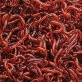 Bloodworms lizenzfreies stockfoto