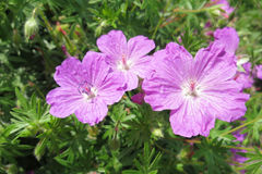Bloody crane's-bill or Bloody geranium (Geranium sanguineum) Royalty Free Stock Photography