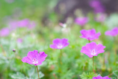Bloody Cranesbill Flower Royalty Free Stock Images
