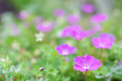 Bloody cranesbill flower Royalty Free Stock Image