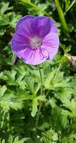 Bloody cranesbill flower. Beautiful flower on a summer day Royalty Free Stock Photography