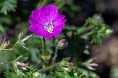 Bloody Cranesbill - Geranium sanguineum Pink Garden Flower stock images