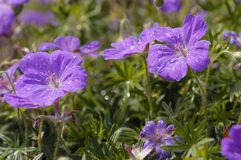 Bloody Cranesbill Royalty Free Stock Images