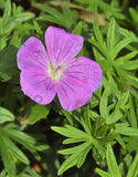 Bloody Cranesbill Stock Image