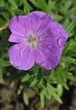 Bloody Cranesbill Stock Images