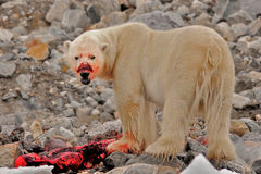Bloody-faced polar bear with Kill, Spitsbergen, Svalbard, Norway Royalty Free Stock Photo