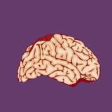 Bloody Halloween parts - human organ brain Royalty Free Stock Photography
