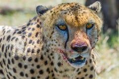 Bloody Head Portrait, Cheetah, Masai Mara, Kenya Stock Photography