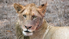 Bloody Lioness Royalty Free Stock Photos