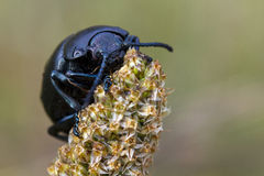 Bloody-nosed beetle on plantain macro. A bloody-nosed beetle (Timarcha tenebricosa) climbs to the top of a plantain (Plantago lanceolata)flower spike. Bloody stock images