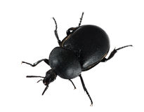 Bloody-nosed Beetle Timarcha tenebricosa, isolated Royalty Free Stock Photo