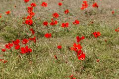 The bloody red anemones glade Stock Photography