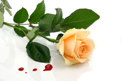 Bloody rose Royalty Free Stock Photography