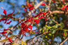 Blooing gązewnika acaciae, aka Akacjowy patka kwiat które r na gałąź odrewniali drzewa, błonie pasożytnicza roślina fotografia stock