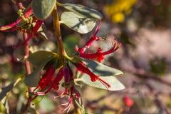 Blooing gązewnika acaciae, aka Akacjowy patka kwiat które r na gałąź odrewniali drzewa, błonie pasożytnicza roślina obraz stock