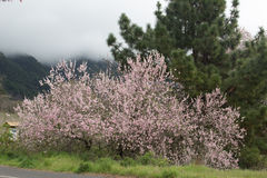 Bloom of the almond flower. In El Paso (Canary Islands Royalty Free Stock Image