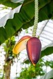 Bloom of banana tree Stock Photography