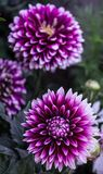 Bloom, Blossom, Close-up, Dahlia, Stock Image