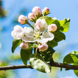 Bloom on blossoming apple tree close up in spring Royalty Free Stock Images