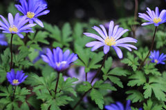 Bloom of blue daisies. On a green background Stock Photography