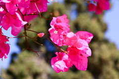 Bloom bougainvilia Stock Image