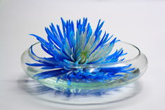 Bloom in Bowl. A blue dyed flower bloom rests in a shallow glass bowl of water Stock Photography