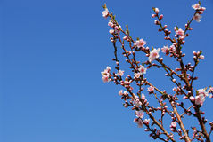 bloom brzoskwiniowe drzewo Zdjęcie Royalty Free