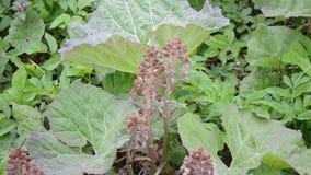 Bloom Butterbur or Burdock. Early Spring Closeup stock video footage