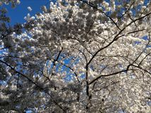 Beautiful Cherry blossom Stock Images