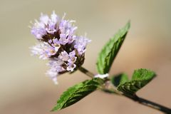 The bloom of a choclate mint plant royalty free stock photos