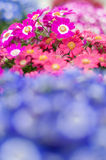 Bloom cineraria, groundsel Stock Photography