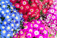 Bloom cineraria, groundsel Royalty Free Stock Photo