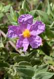 Bloom of Cistus albidus (Rock rose, Sun rose) royalty free stock images