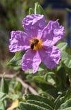 Bloom of Cistus albidus (Rock rose, Sun rose) Royalty Free Stock Photo