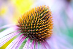 Bloom, Colorful, Coneflower, Detail Royalty Free Stock Images