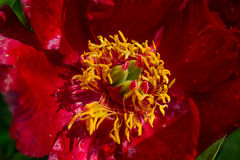Bloom of common peony Paeonia officinalis macro Royalty Free Stock Image