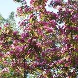 Bloom of decorative apple tree Malus niedzwetzkyana. Stock Photo