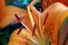 Bloom. Detail of orange lily blossom Royalty Free Stock Photography