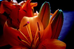 Bloom. Detail of orange lily blossom stock images