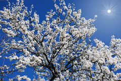 bloom drzewa Fotografia Royalty Free