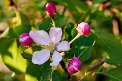 bloom drzewa Fotografia Stock