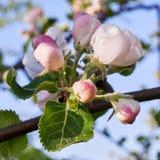 bloom drzewa Zdjęcia Royalty Free