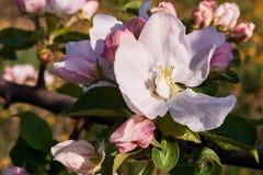 bloom drzewa Zdjęcie Royalty Free