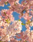 bloom drzewo Zdjęcia Stock