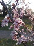 bloom drzewo Zdjęcie Stock