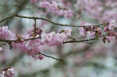bloom drzewo wiśniowe Obraz Royalty Free