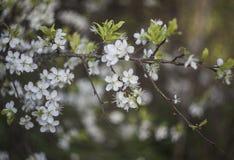 bloom drzewo wi?niowe fotografia royalty free
