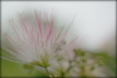 Bloom in early morning mist. Bloom with dew drops from the early morning mist with dreamy blurred background Royalty Free Stock Image
